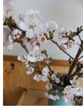 治療院の桜
